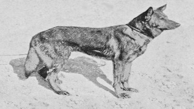 horand-von-grafath-german-shepherd